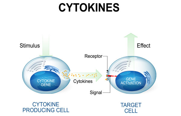 The Key Role Of Cytokines in the Body