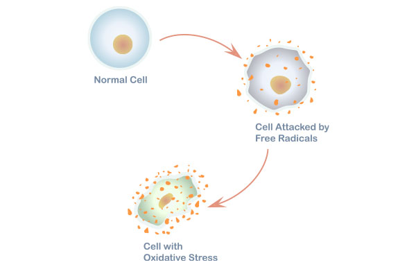 Effect of oxidative stress on a cell