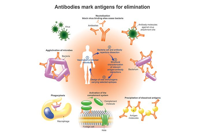 Monoclonal and Polyclonal Antibodies in Covid-19 Treatment